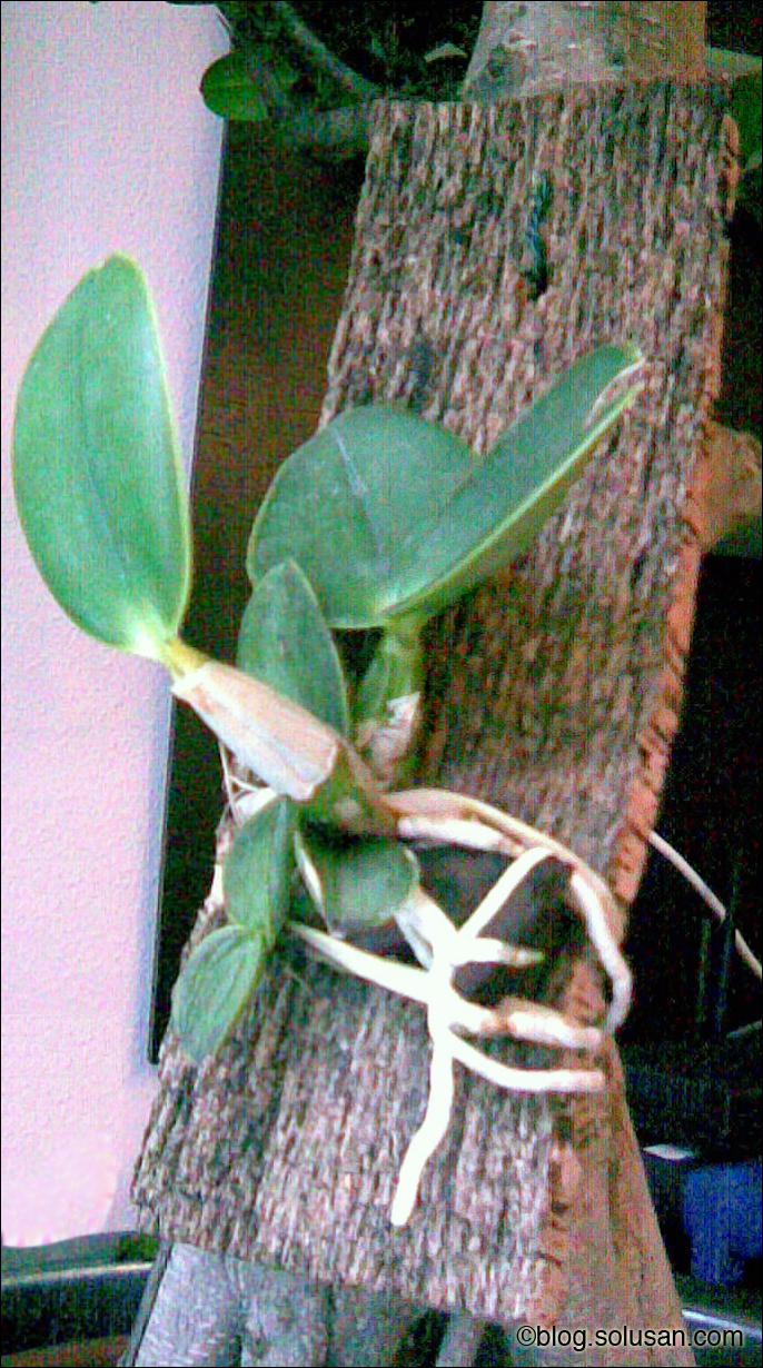 Cattleya Nobilior (especie)