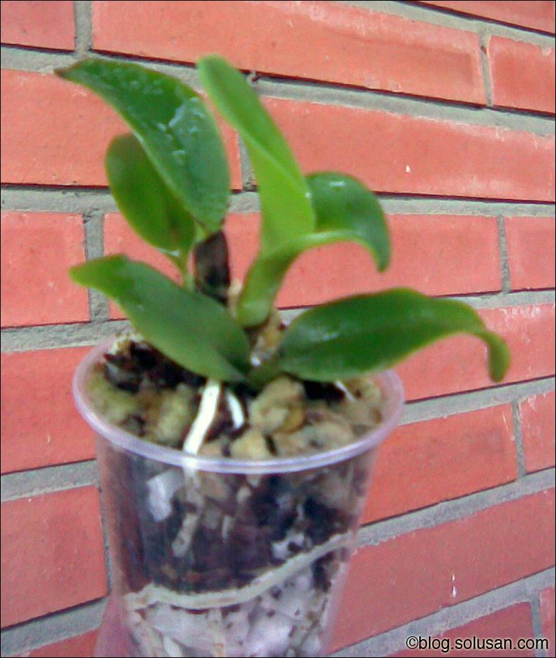 Cattleya Warnerii Alba baby