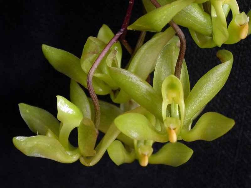 cirrhaea-saccata.jpg