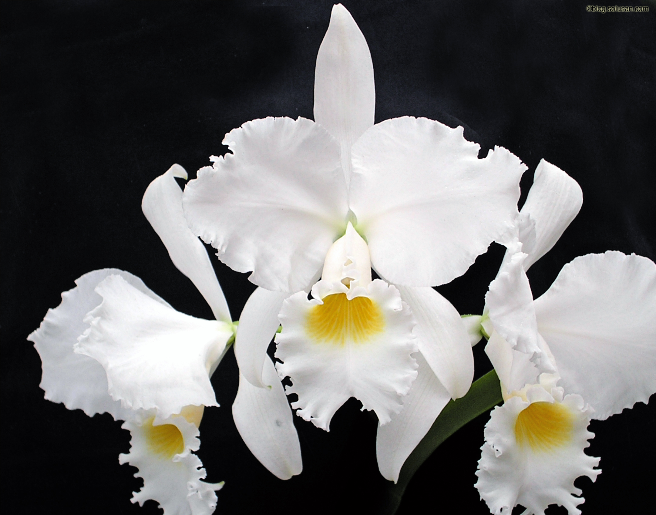 Cattleya Warnerii Alba
